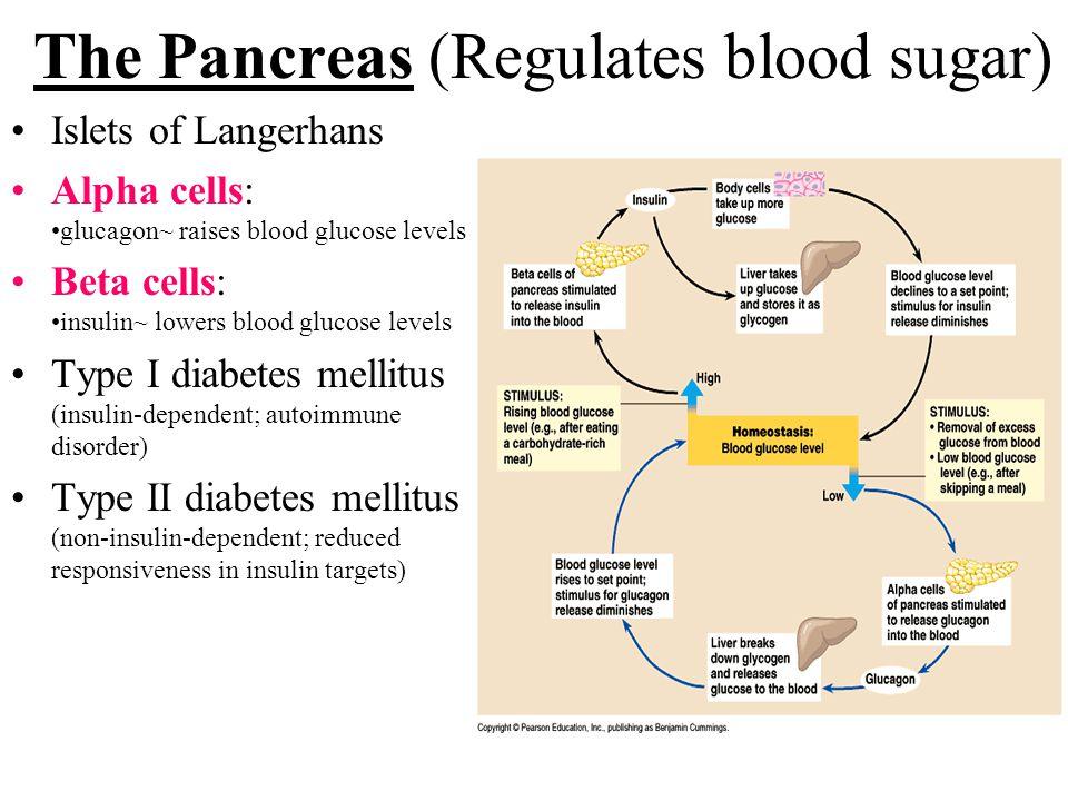 The Pancreas (Regulates blood sugar) Islets of Langerhans Alpha cells: glucagon~ raises blood glucose levels Beta cells: insulin~ lowers blood glucose