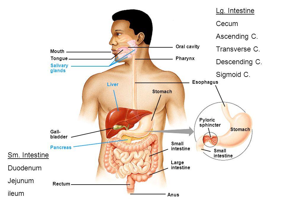 Mouth Tongue Salivary glands Oral cavity Pharynx Esophagus Stomach Liver Gall- bladder Pancreas Small intestine Large intestine Small intestine Stomac