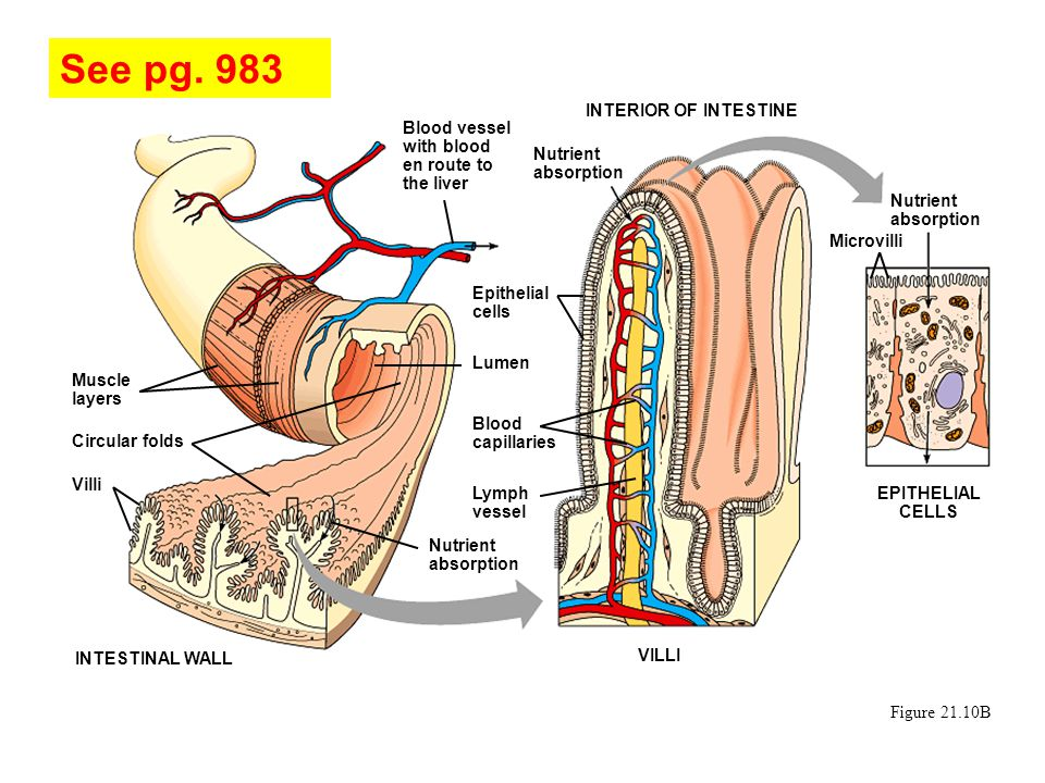 Figure 21.10B Muscle layers Circular folds Villi INTESTINAL WALL Blood vessel with blood en route to the liver INTERIOR OF INTESTINE Nutrient absorpti