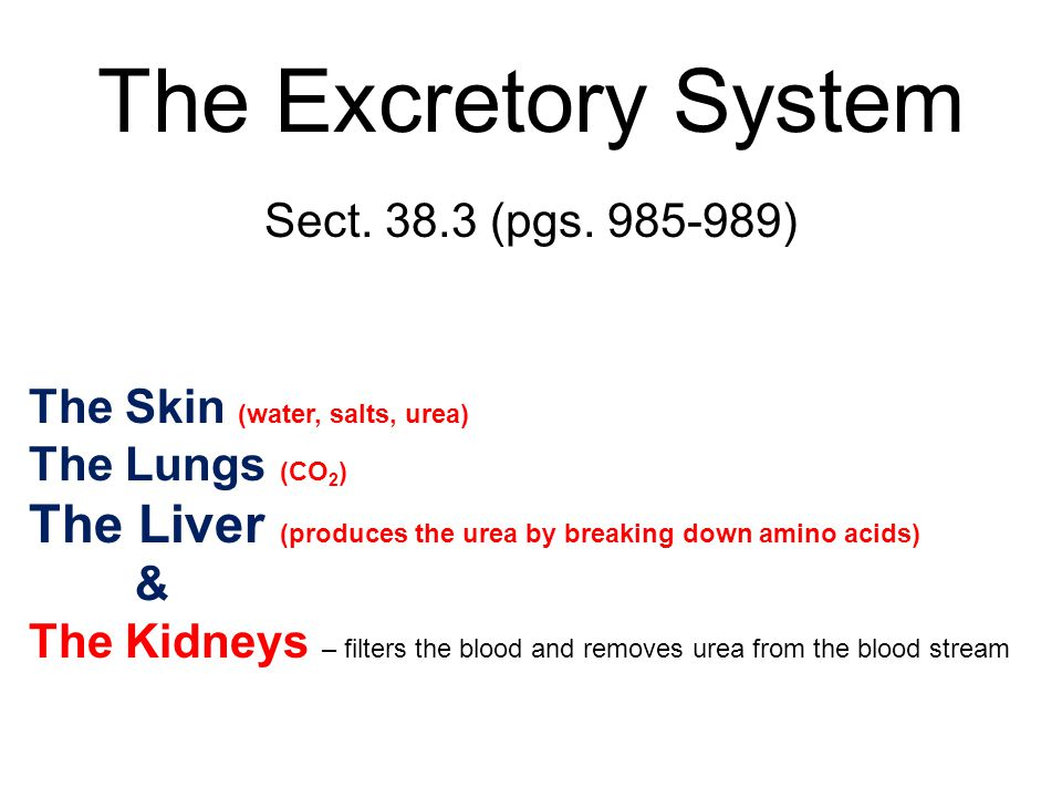 The Excretory System Sect. 38.3 (pgs. 985-989) The Skin (water, salts, urea) The Lungs (CO 2 ) The Liver (produces the urea by breaking down amino aci