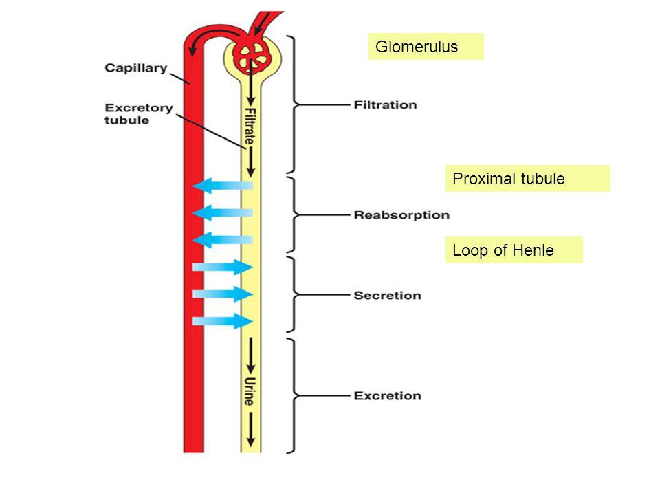 Glomerulus Proximal tubule Loop of Henle