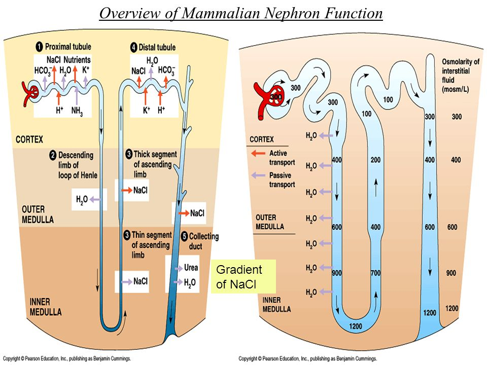 Overview of Mammalian Nephron Function Gradient of NaCl