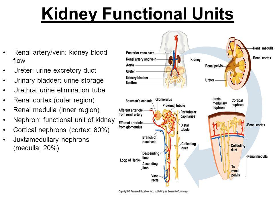 Kidney Functional Units Renal artery/vein: kidney blood flow Ureter: urine excretory duct Urinary bladder: urine storage Urethra: urine elimination tu