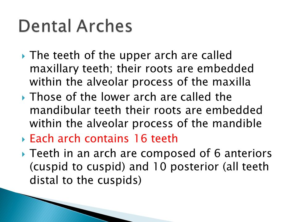  The teeth of the upper arch are called maxillary teeth; their roots are embedded within the alveolar process of the maxilla  Those of the lower arc