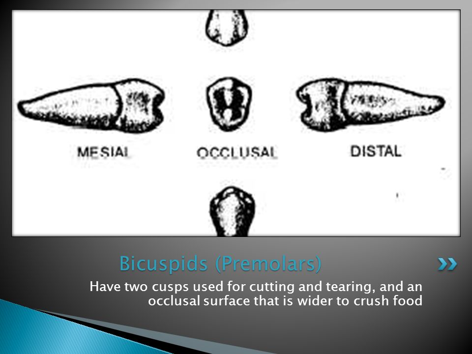 Have two cusps used for cutting and tearing, and an occlusal surface that is wider to crush food Bicuspids (Premolars)