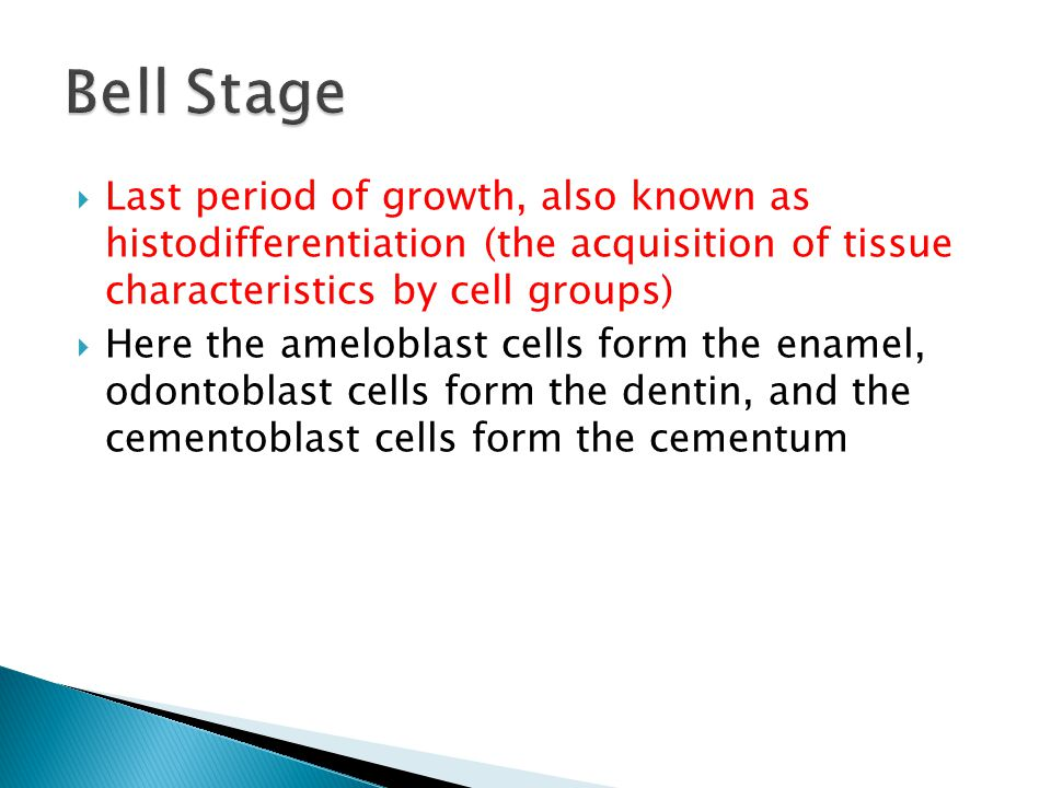  Last period of growth, also known as histodifferentiation (the acquisition of tissue characteristics by cell groups)  Here the ameloblast cells for