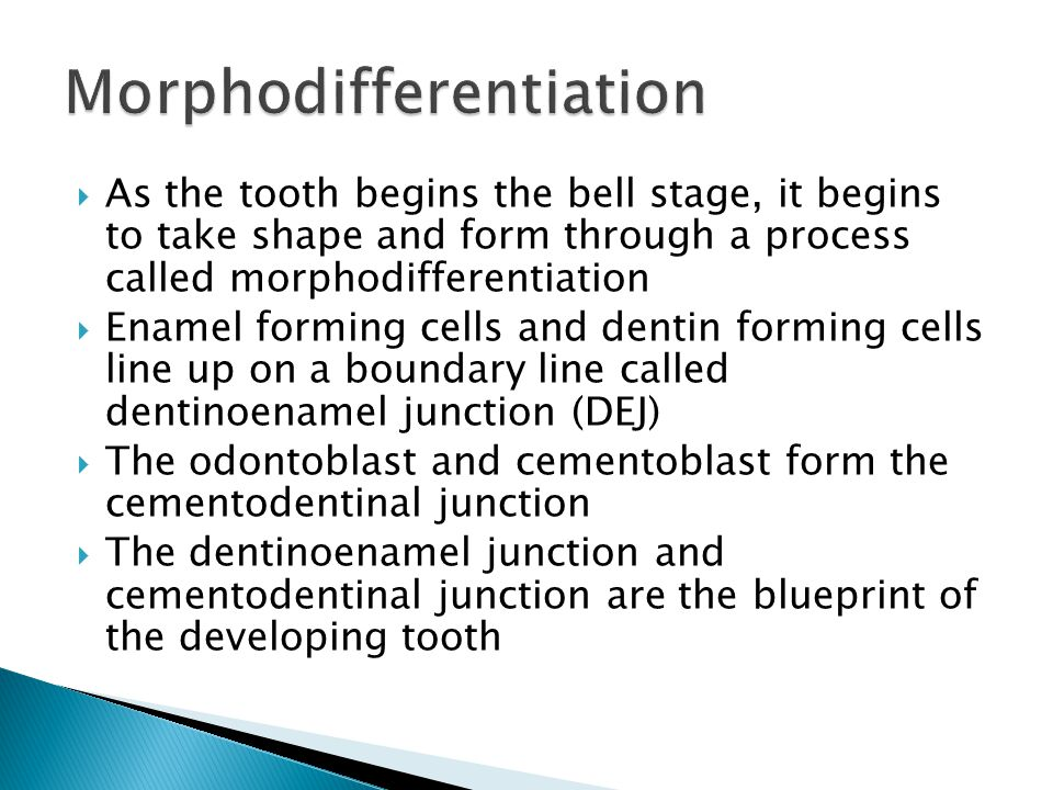  As the tooth begins the bell stage, it begins to take shape and form through a process called morphodifferentiation  Enamel forming cells and denti