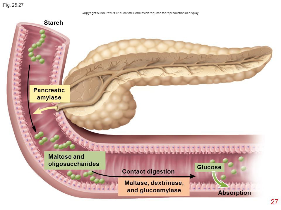 27 Copyright © McGraw-Hill Education. Permission required for reproduction or display. Starch Pancreatic amylase Maltose and oligosaccharides Absorpti