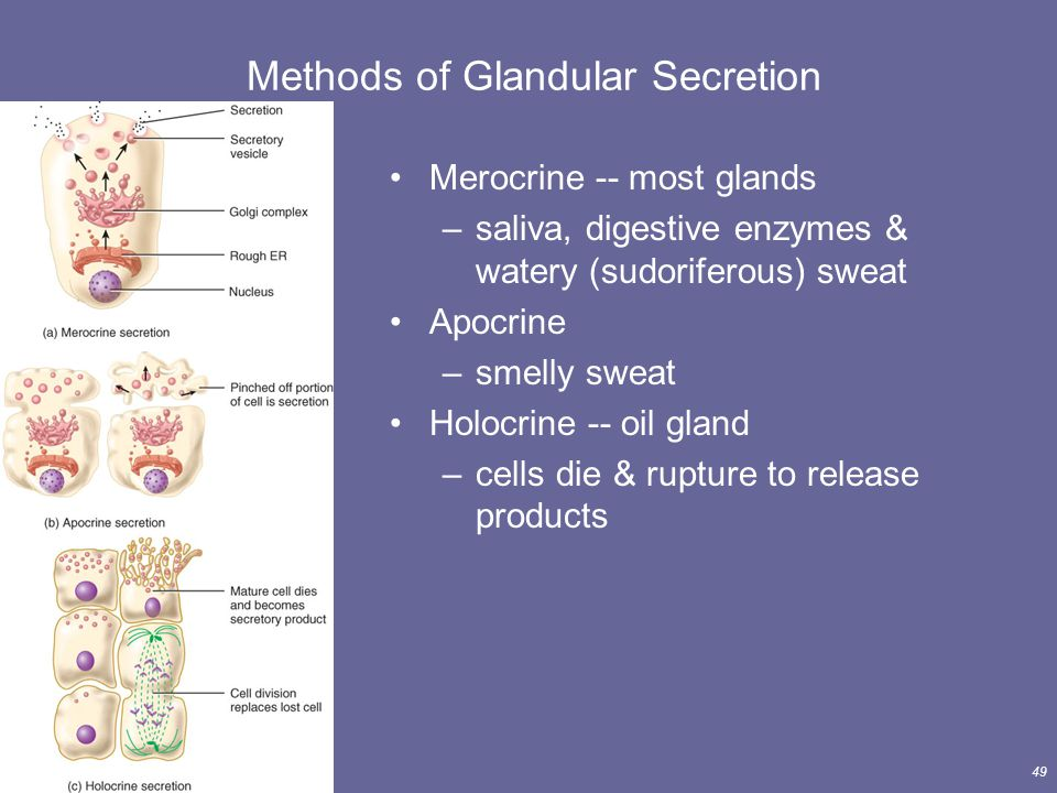 Principles of Human Anatomy and Physiology, 11e49 Merocrine -- most glands –saliva, digestive enzymes & watery (sudoriferous) sweat Apocrine –smelly s