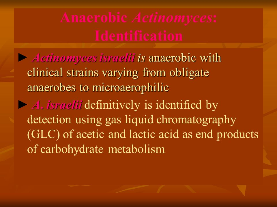 Anaerobic Actinomyces: Identification Actinomyces israelii is anaerobic with clinical strains varying from obligate anaerobes to microaerophilic ► Actinomyces israelii is anaerobic with clinical strains varying from obligate anaerobes to microaerophilic A.