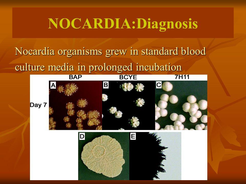 NOCARDIA:Diagnosis Nocardia organisms grew in standard blood culture media in prolonged incubation