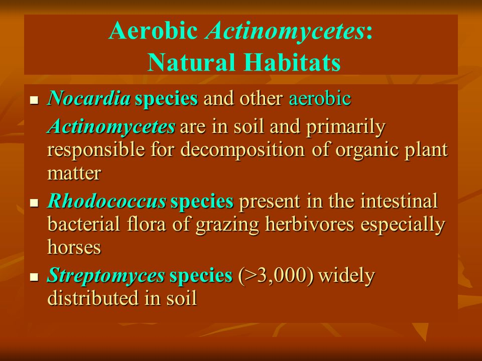Aerobic Actinomycetes: Natural Habitats Nocardia species and other aerobic Nocardia species and other aerobic Actinomycetes are in soil and primarily responsible for decomposition of organic plant matter Rhodococcus species present in the intestinal bacterial flora of grazing herbivores especially horses Rhodococcus species present in the intestinal bacterial flora of grazing herbivores especially horses Streptomyces species (>3,000) widely distributed in soil Streptomyces species (>3,000) widely distributed in soil