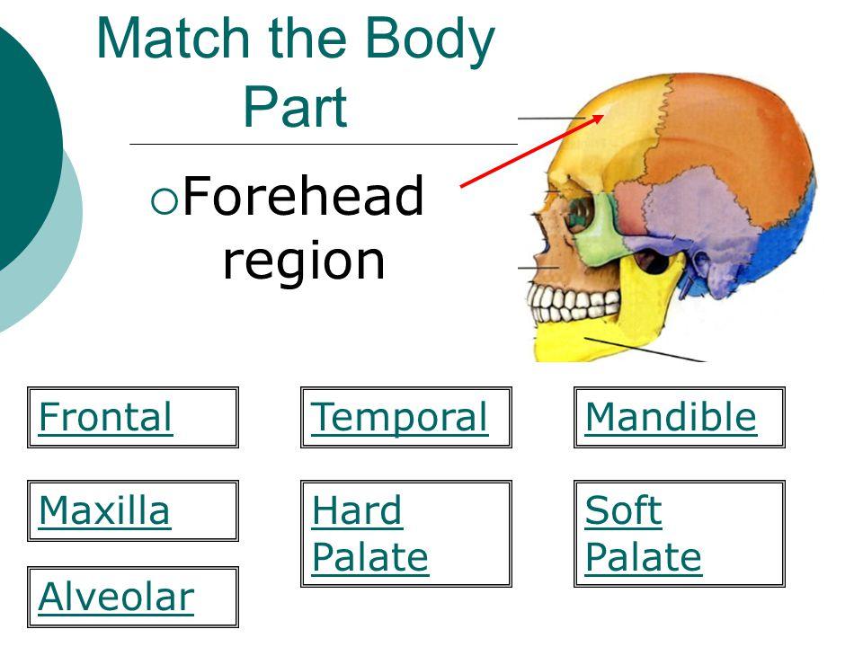 Match the Body Part  Forehead region Hard Palate Mandible MaxillaSoft Palate Alveolar FrontalTemporal