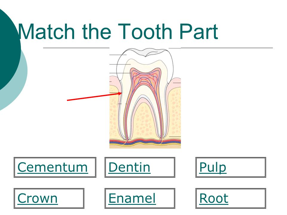 Match the Tooth Part  form Enamel Pulp CrownRoot CementumDentin