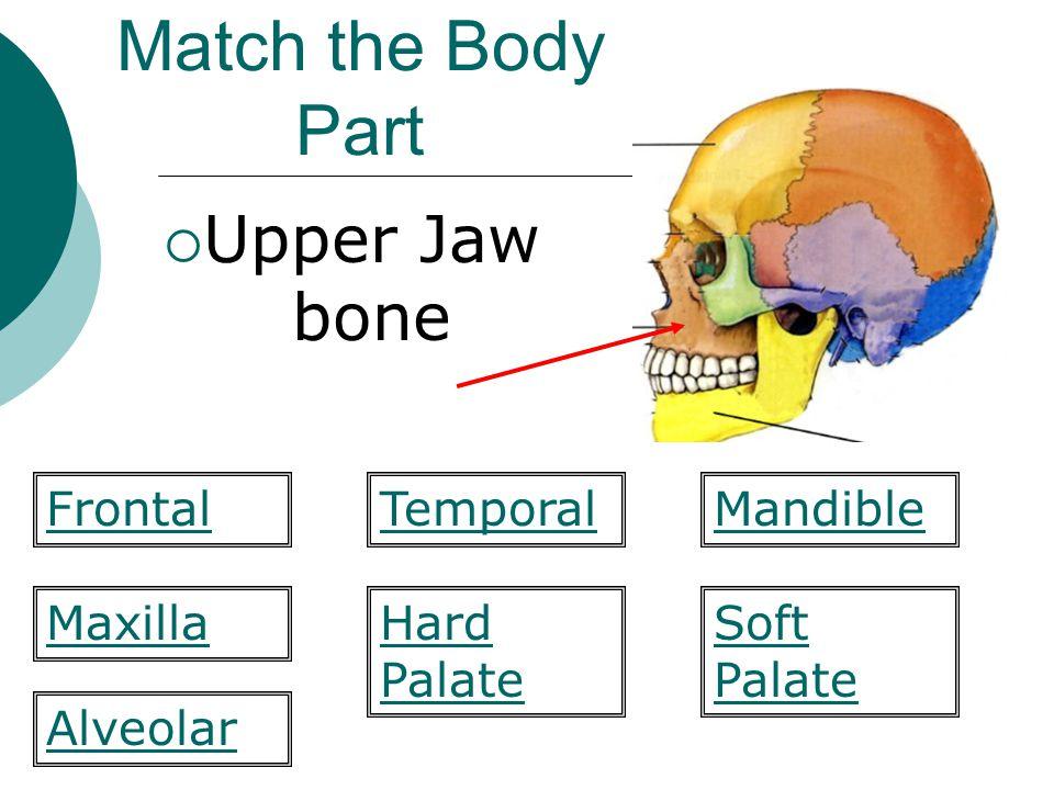 Match the Body Part  Upper Jaw bone Hard Palate Mandible MaxillaSoft Palate Alveolar FrontalTemporal
