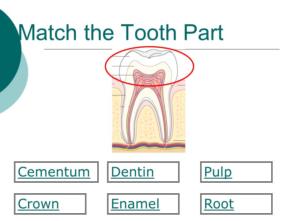 Match the Tooth Part  form Enamel Pulp CrownRoot CementumDentin