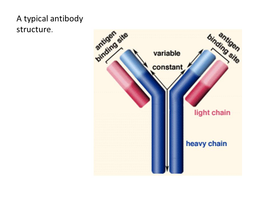 A typical antibody structure.