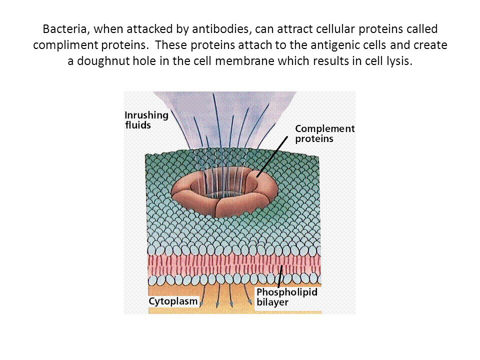 Bacteria, when attacked by antibodies, can attract cellular proteins called compliment proteins. These proteins attach to the antigenic cells and crea