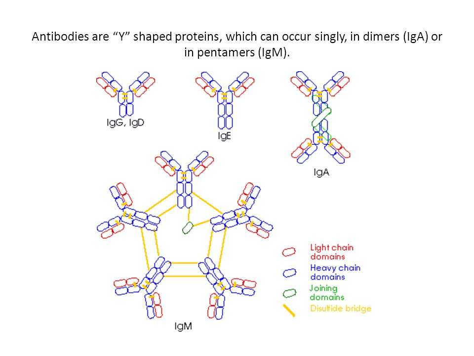 """Antibodies are """"Y"""" shaped proteins, which can occur singly, in dimers (IgA) or in pentamers (IgM)."""