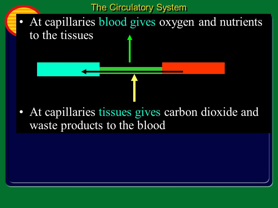 At capillaries blood gives oxygen and nutrients to the tissues At capillaries tissues gives carbon dioxide and waste products to the blood The Circulatory System 1 1