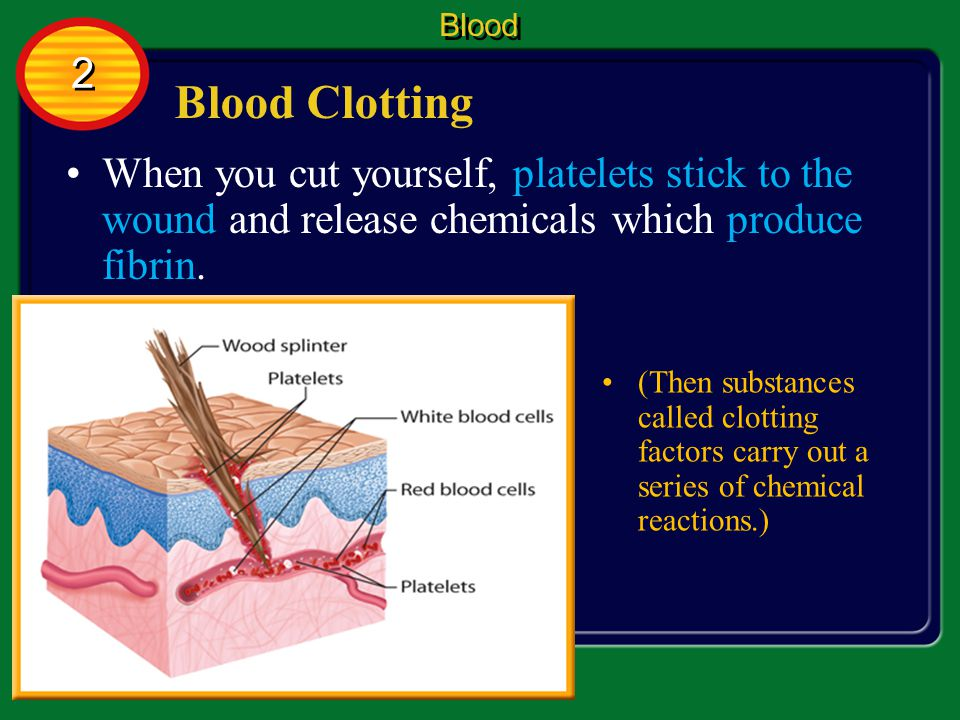 Blood Cells Blood 2 2 Here, they destroy bacteria and viruses and absorb dead cells.