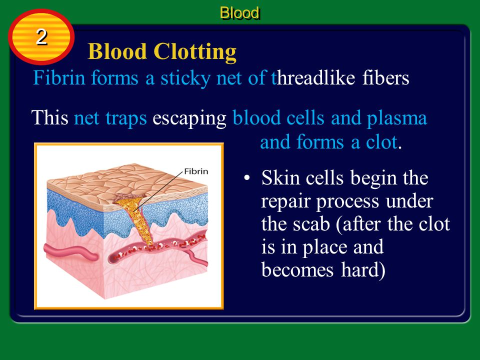 Blood Clotting When you cut yourself, platelets stick to the wound and release chemicals which produce fibrin.