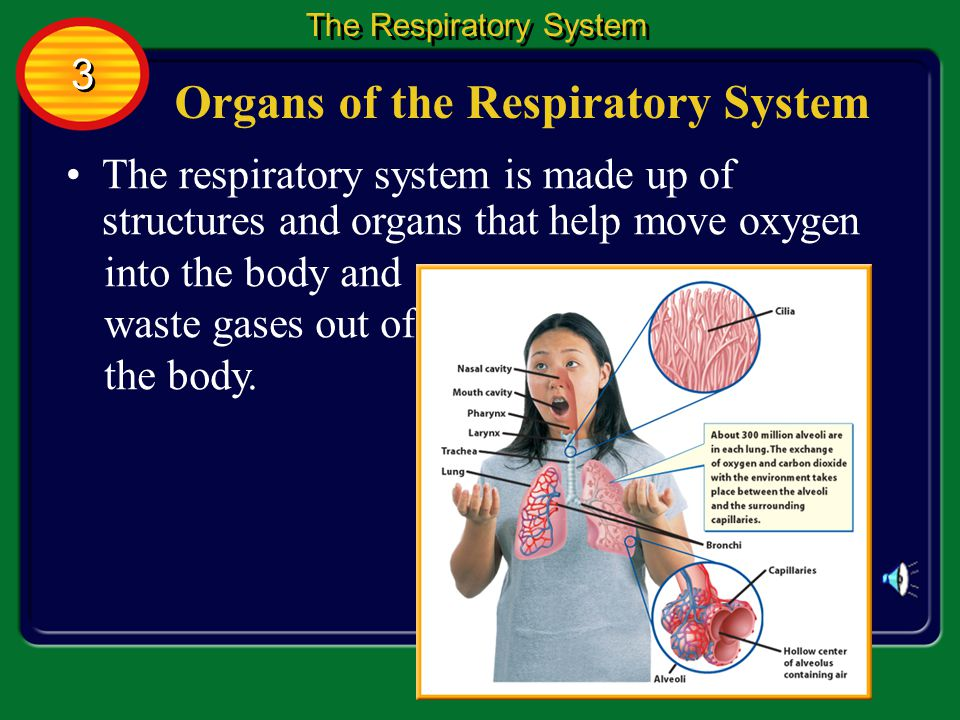 Functions of the Respiratory System Blood carries oxygen and glucose from digested food to individual cells.