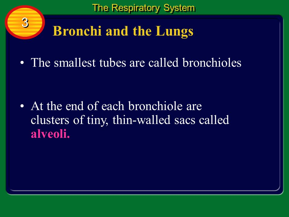 Bronchi and the Lungs Air is carried into your lungs by two short tubes called bronchi at the lower end of the trachea.