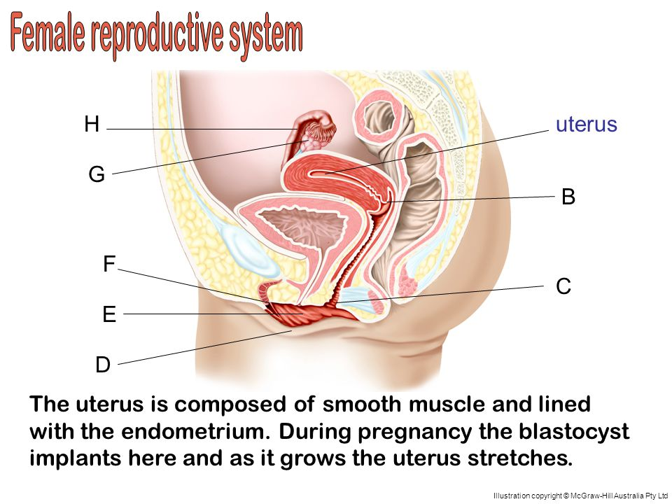 A D C B H G F E uterus The uterus is composed of smooth muscle and lined with the endometrium.