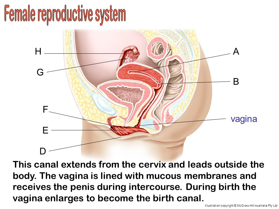A D C B H G F E Illustration copyright © McGraw-Hill Australia Pty Ltd vagina This canal extends from the cervix and leads outside the body.