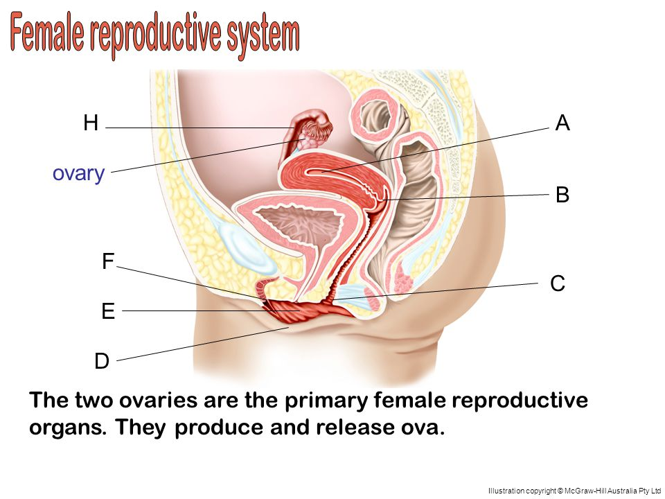 A D C B H G F E Illustration copyright © McGraw-Hill Australia Pty Ltd The two ovaries are the primary female reproductive organs.