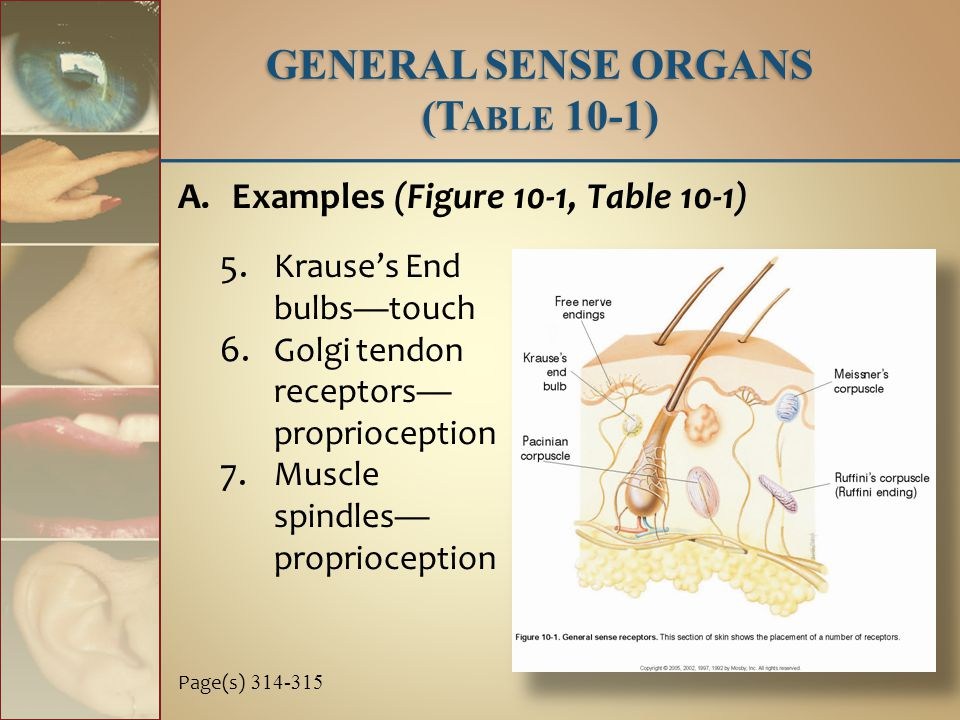 5.Krause's End bulbs—touch 6. Golgi tendon receptors— proprioception 7.