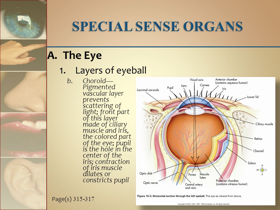 b.Choroid— Pigmented vascular layer prevents scattering of light; front part of this layer made of ciliary muscle and iris, the colored part of the eye; pupil is the hole in the center of the iris; contraction of iris muscle dilates or constricts pupil SPECIAL SENSE ORGANS A.The Eye 1.