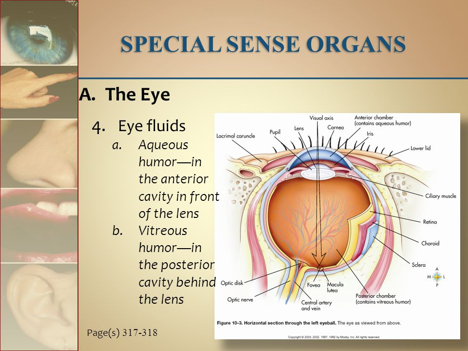 4. Eye fluids a.Aqueous humor—in the anterior cavity in front of the lens b.Vitreous humor—in the posterior cavity behind the lens SPECIAL SENSE ORGAN