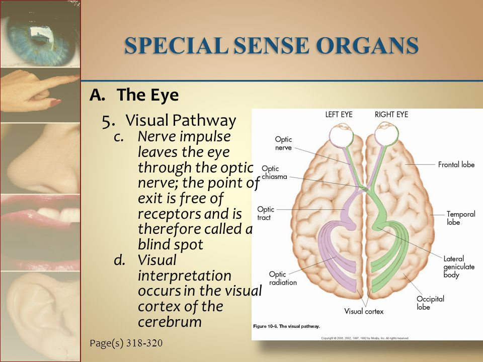 A.The Eye 5. Visual Pathway c.Nerve impulse leaves the eye through the optic nerve; the point of exit is free of receptors and is therefore called a b