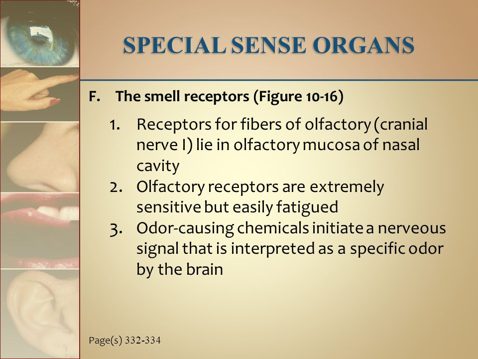 SPECIAL SENSE ORGANS F.The smell receptors (Figure 10-16) 1. Receptors for fibers of olfactory (cranial nerve I) lie in olfactory mucosa of nasal cavi