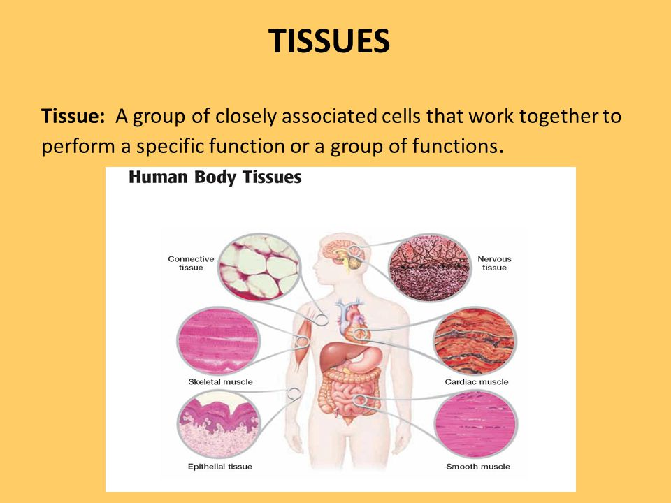 TISSUES Tissue: A group of closely associated cells that work together to perform a specific function or a group of functions.