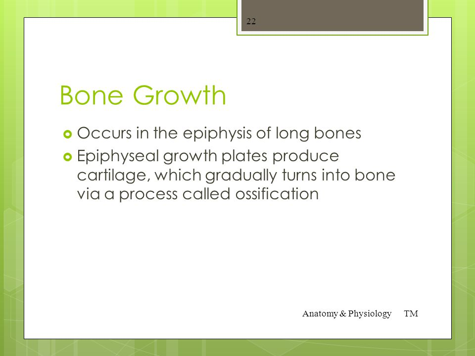Bone anatomy  Compact Bone – thick outer layer that can be repared  Give rigidity and elasticity.