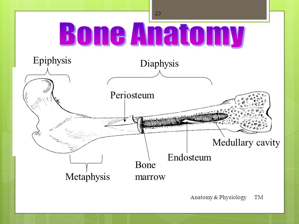 Bone Growth  Occurs in the epiphysis of long bones  Epiphyseal growth plates produce cartilage, which gradually turns into bone via a process called