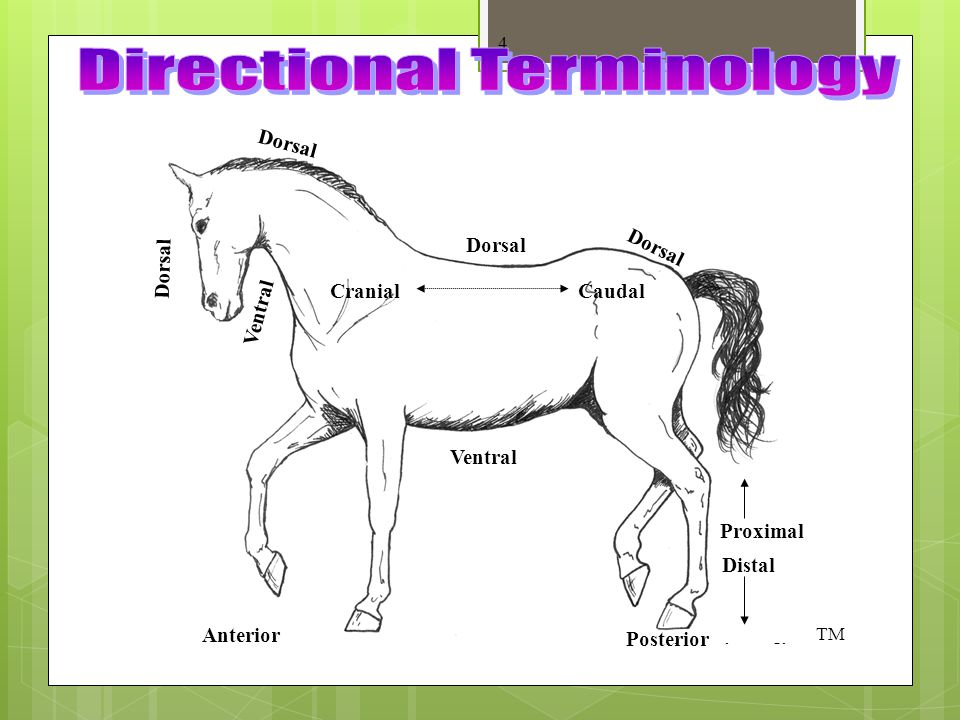 Directional Terminology  Anterior – front of the animal  Posterior – rear of the animal  Cranial – towards the front of the animal  Caudal – towar