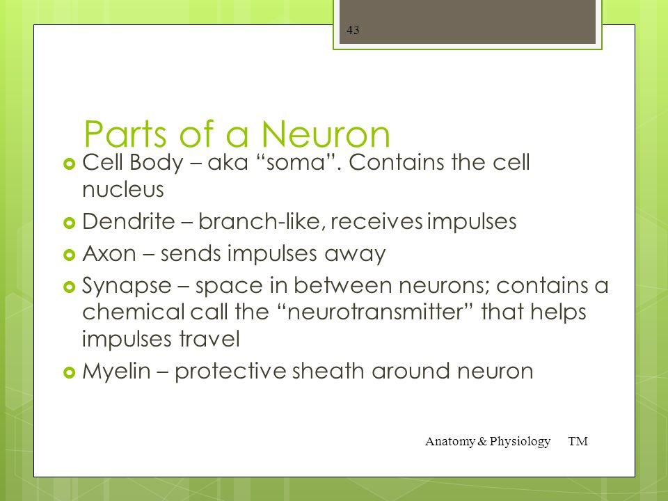 3 types of Neurons  Sensory neurons – carry impulses towards the brain and spinal cord  Connecting Neurons – carry impulses from one neuron to anoth