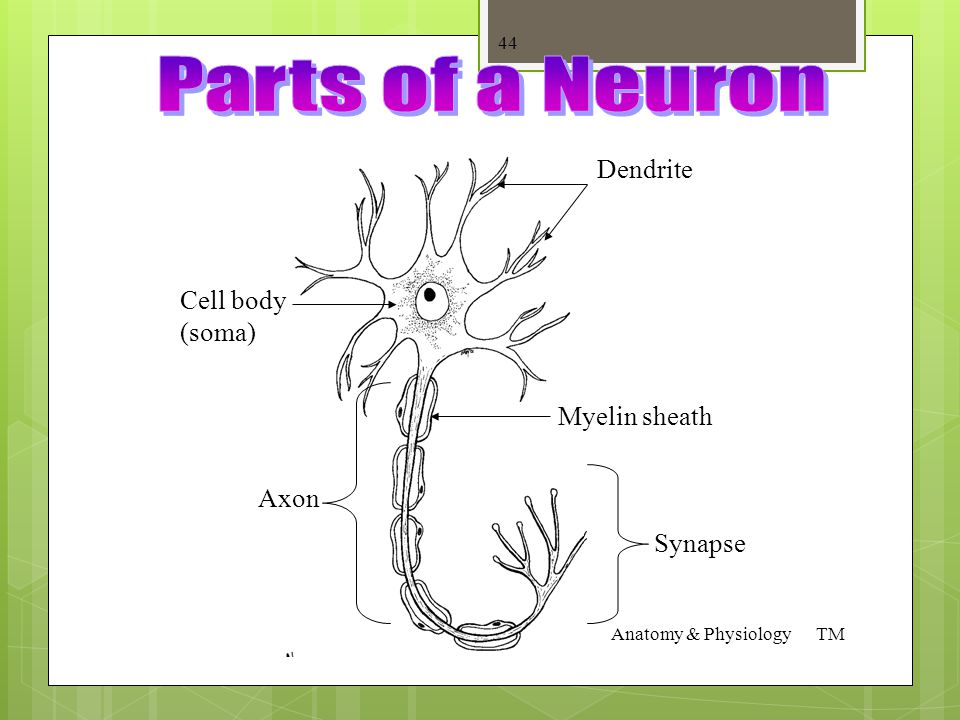 "Parts of a Neuron  Cell Body – aka ""soma"". Contains the cell nucleus  Dendrite – branch-like, receives impulses  Axon – sends impulses away  Synap"