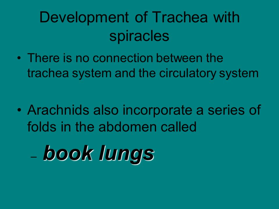 Development of Trachea with spiracles There is no connection between the trachea system and the circulatory system Arachnids also incorporate a series of folds in the abdomen called book lungs – book lungs