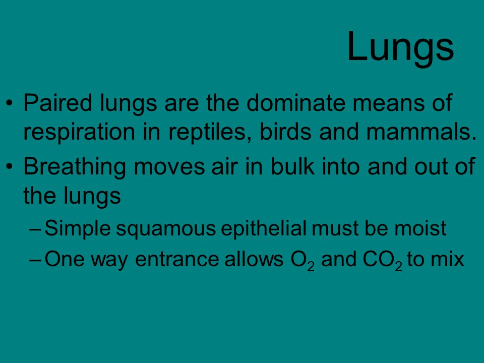 Lungs Paired lungs are the dominate means of respiration in reptiles, birds and mammals.