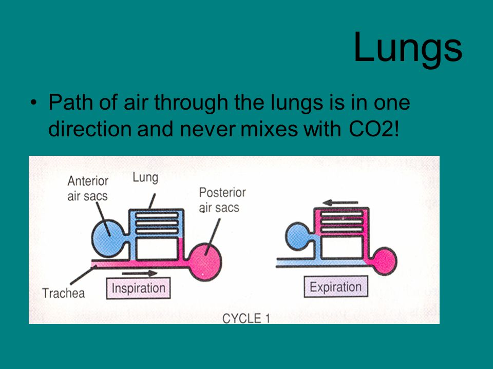 Lungs Path of air through the lungs is in one direction and never mixes with CO2!