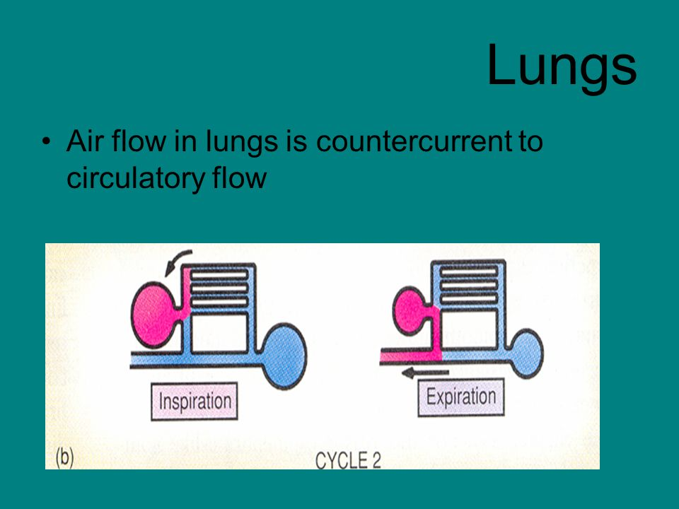 Lungs Air flow in lungs is countercurrent to circulatory flow