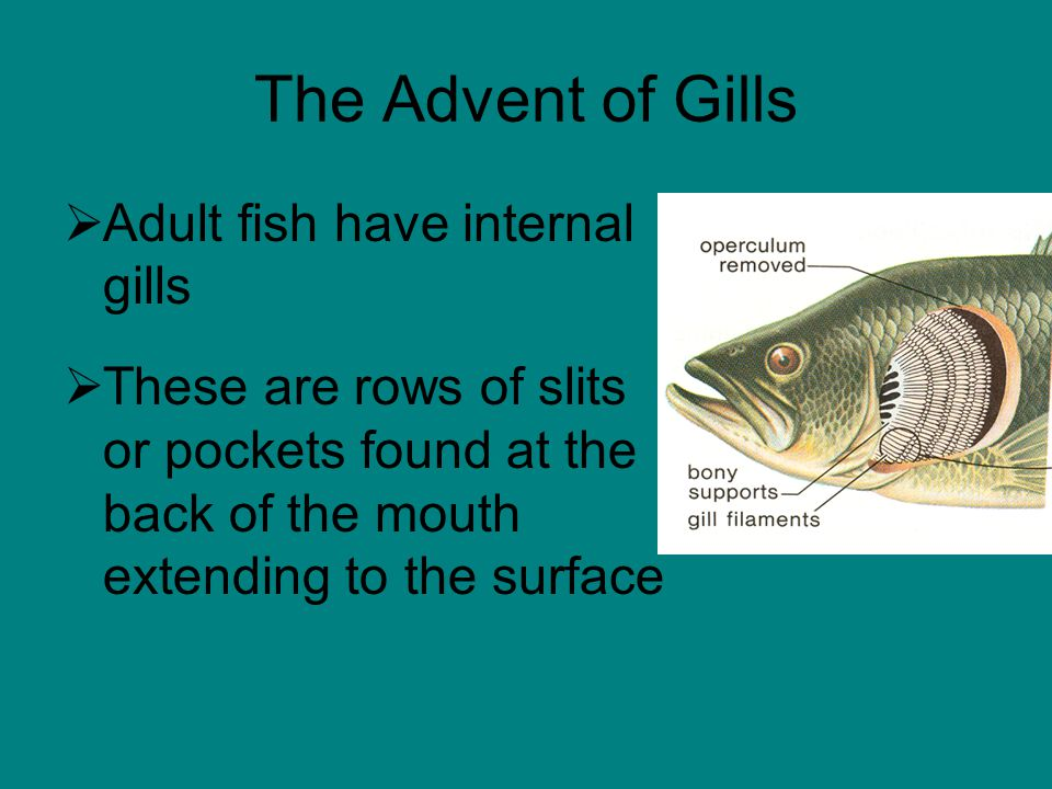 The Advent of Gills  Adult fish have internal gills  These are rows of slits or pockets found at the back of the mouth extending to the surface