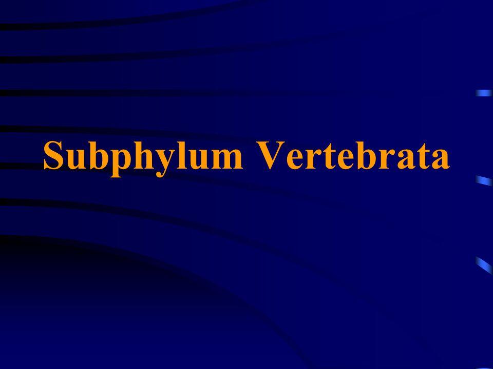 Subphylum Vertebrata