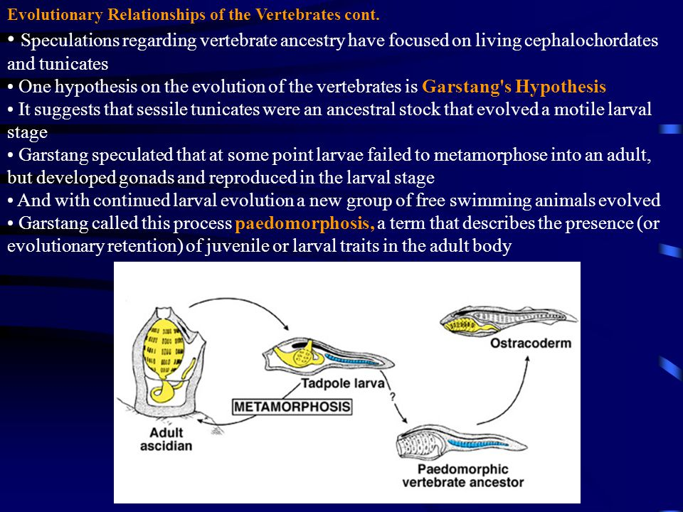 Evolutionary Relationships of the Vertebrates cont. Speculations regarding vertebrate ancestry have focused on living cephalochordates and tunicates O