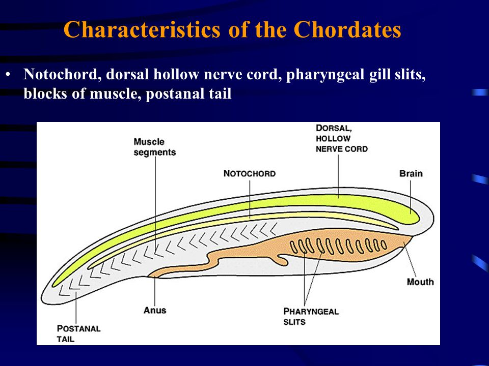 Characteristics of the Chordates Notochord, dorsal hollow nerve cord, pharyngeal gill slits, blocks of muscle, postanal tail